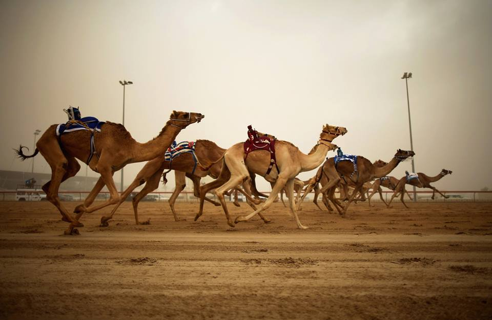 Camel Racing In Dubai a must visit to Dubai