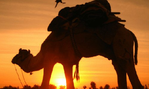 morning-safari-with-camel-ride
